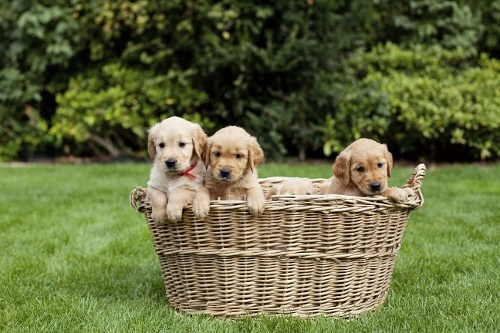 puppies-playing-in-basket